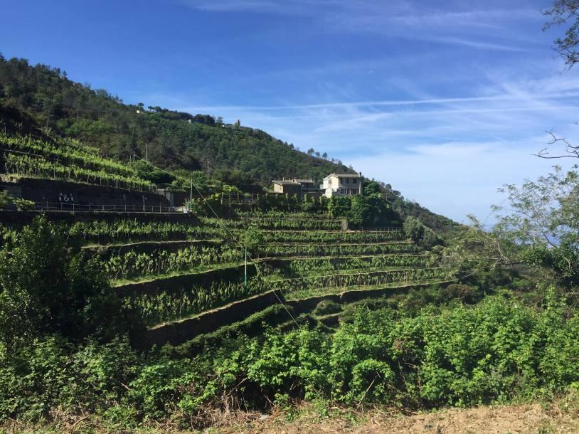 Vertical Vineyards!